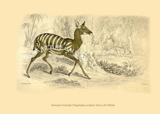 Harnessed Antelope (Tragelaphus scriptus) Native of Caffraria